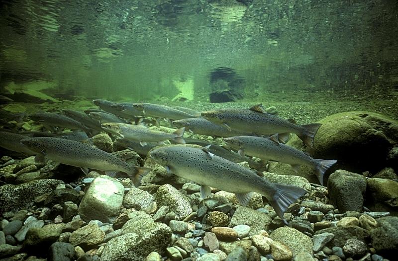 Salmon under water